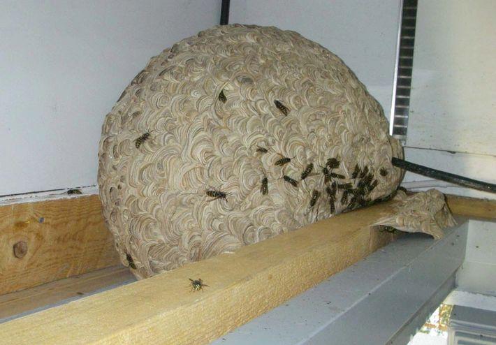 Suuri ampiaispesä