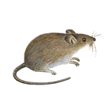 Schädlinge bestimmen - Mäuse