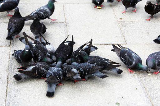 Tauben beim Fressen