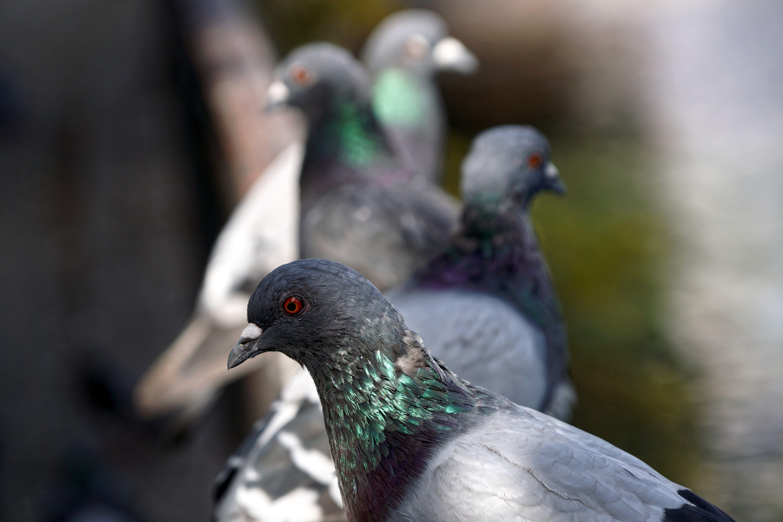 Tauben auf Balkon
