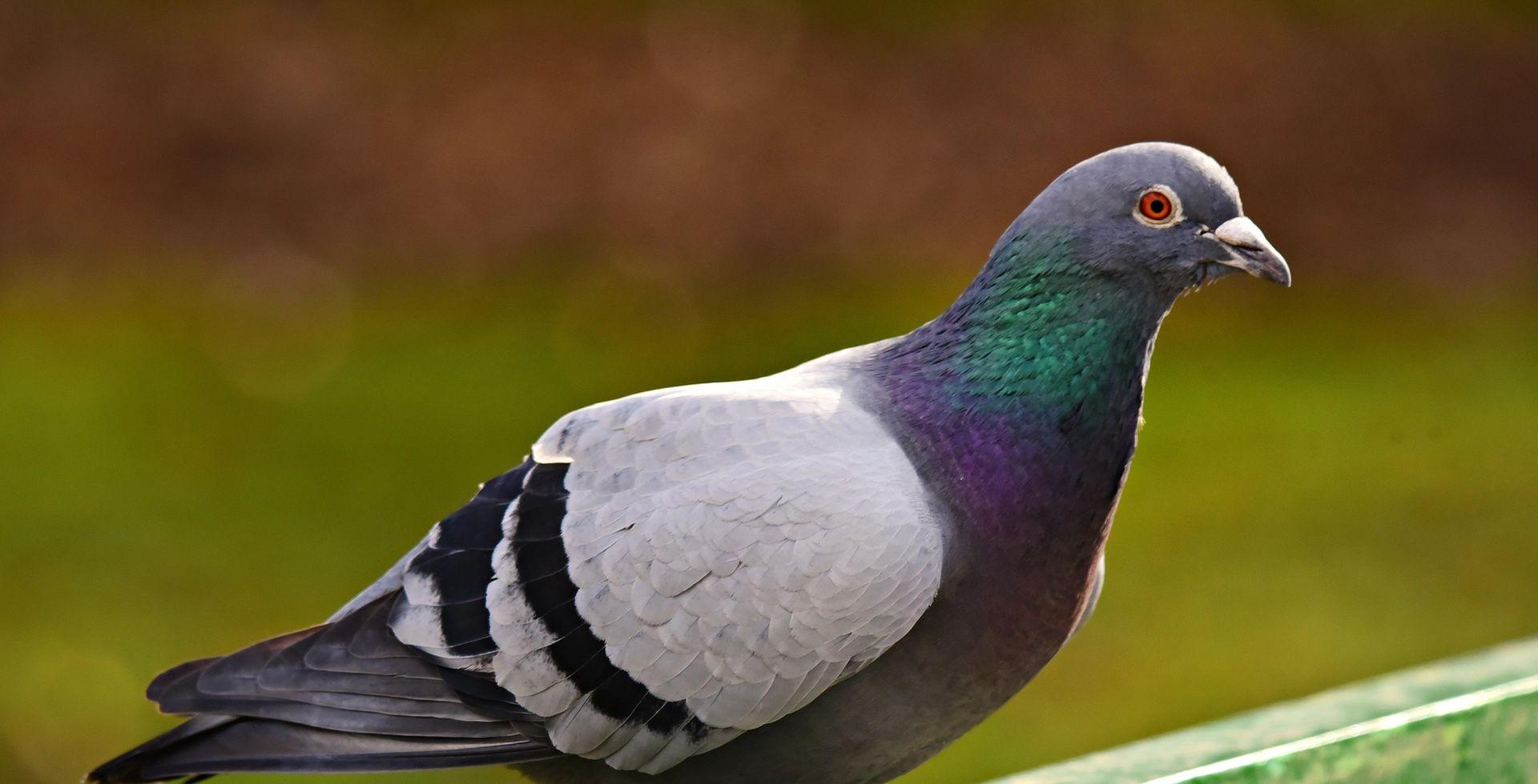 Taube auf einer Brüstung