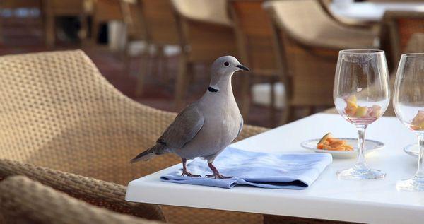 Taube im Restaurant