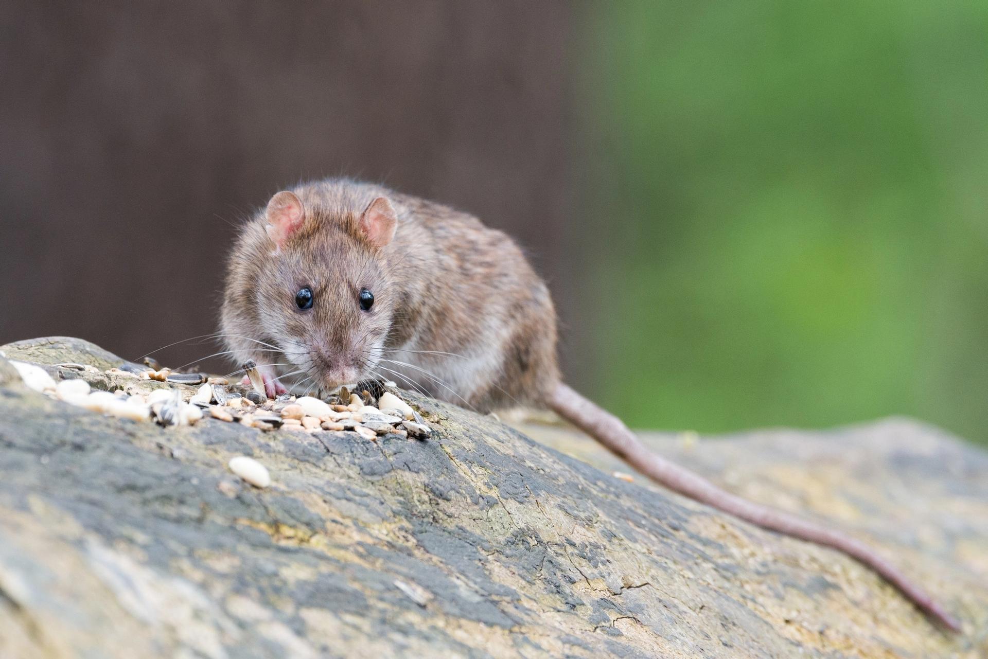 Rattenbefall vorbeugen