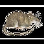 Schädlinge bestimmen - Ratten