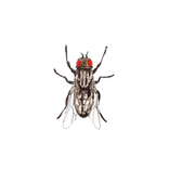 Schädlinge bestimmen - Fliegen