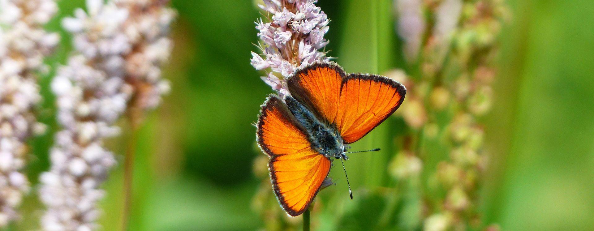Overlast door rupsen en vlinders