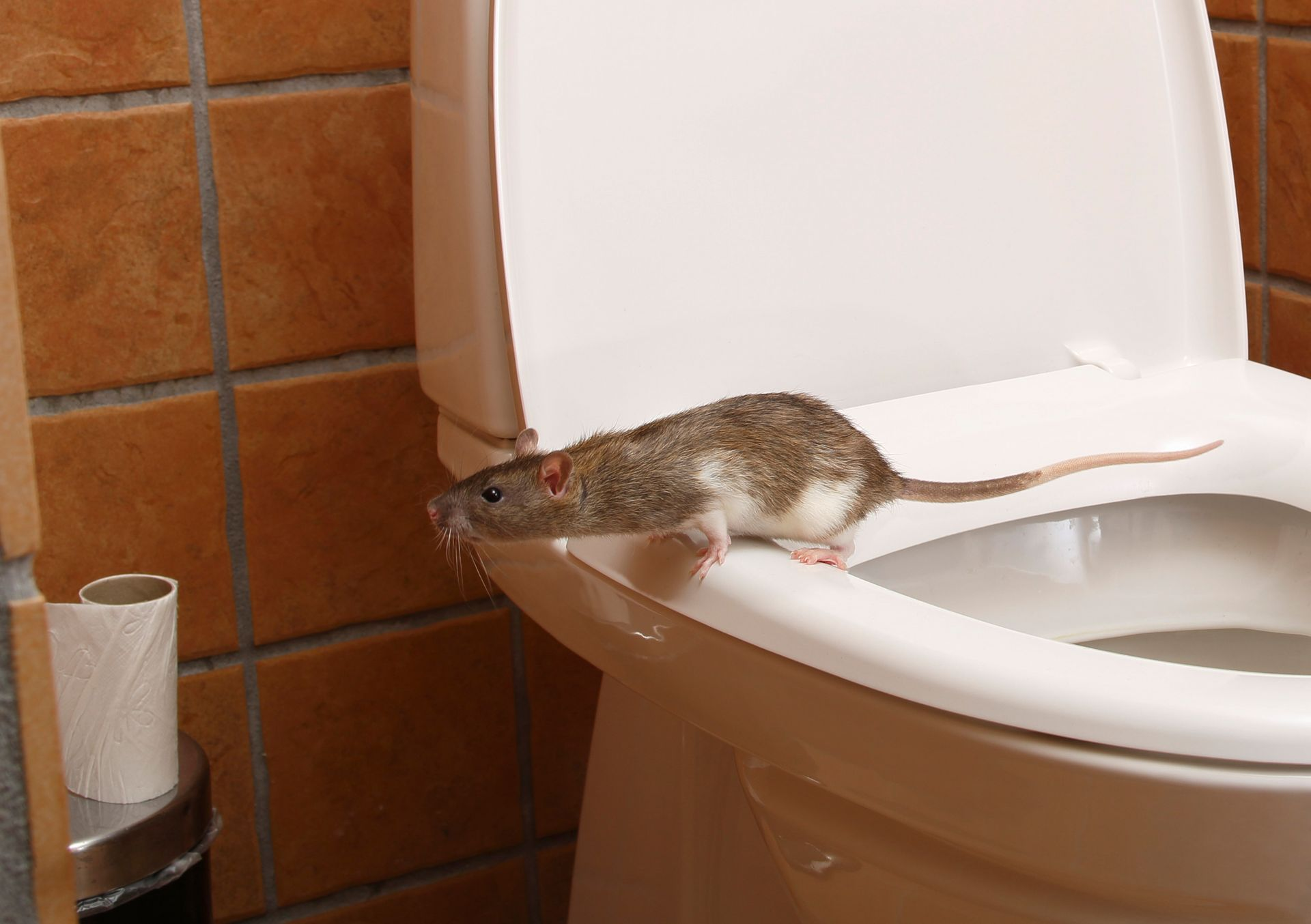 Rattenoverlast beheersbaar maken en houden