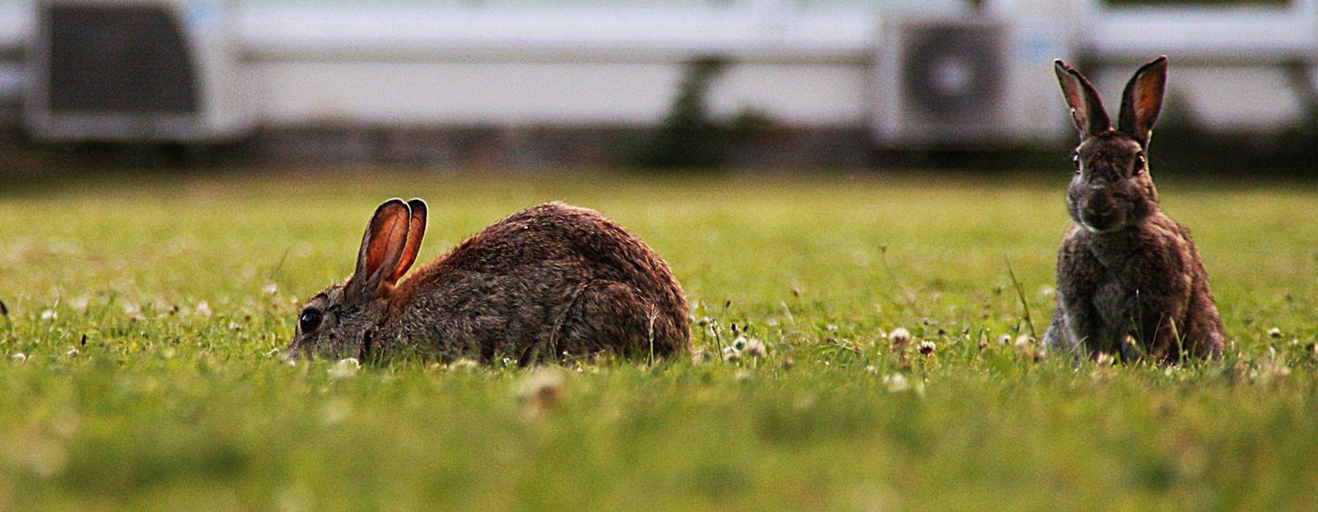 Bezorgen konijnen u overlast?