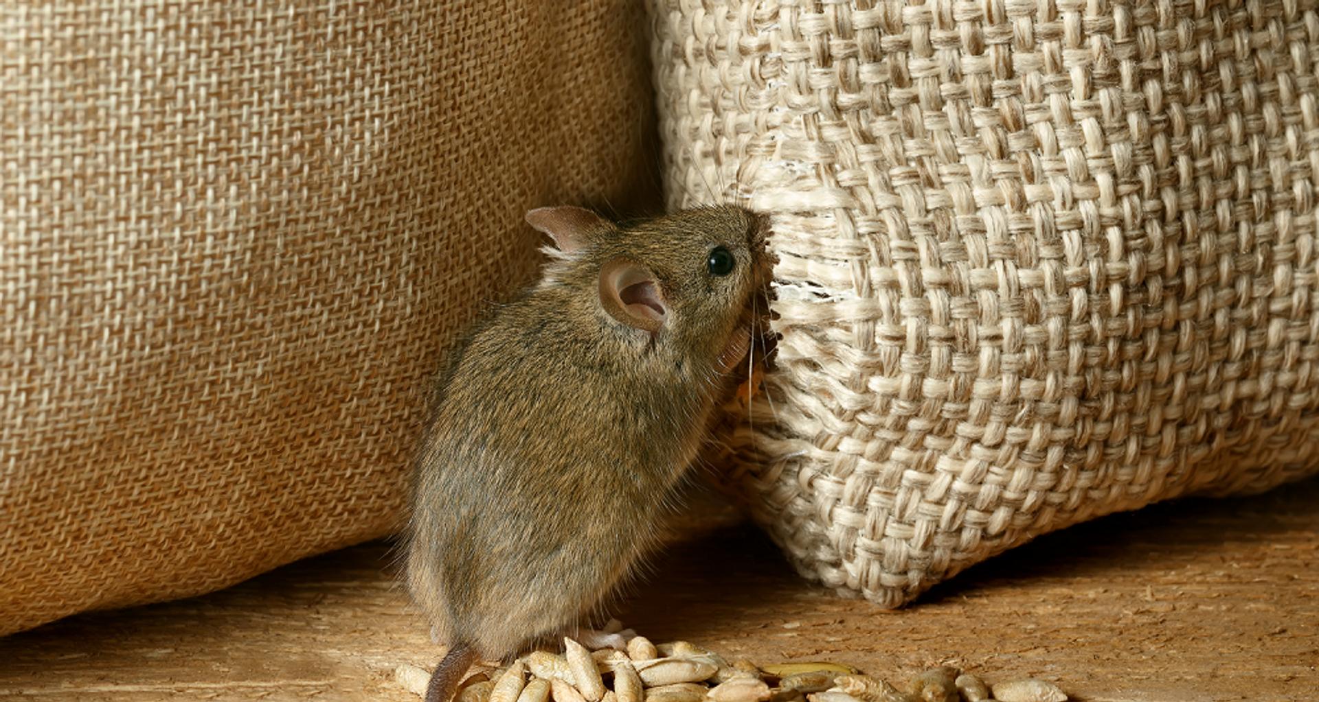 ratos-hero