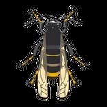 vespa asiatica - thumbnail