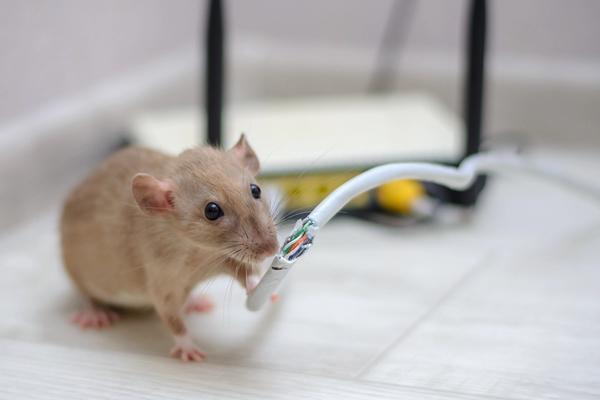 Rata mordisqueando el cable del router