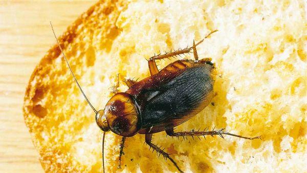 Tratamientos de Cucarachas