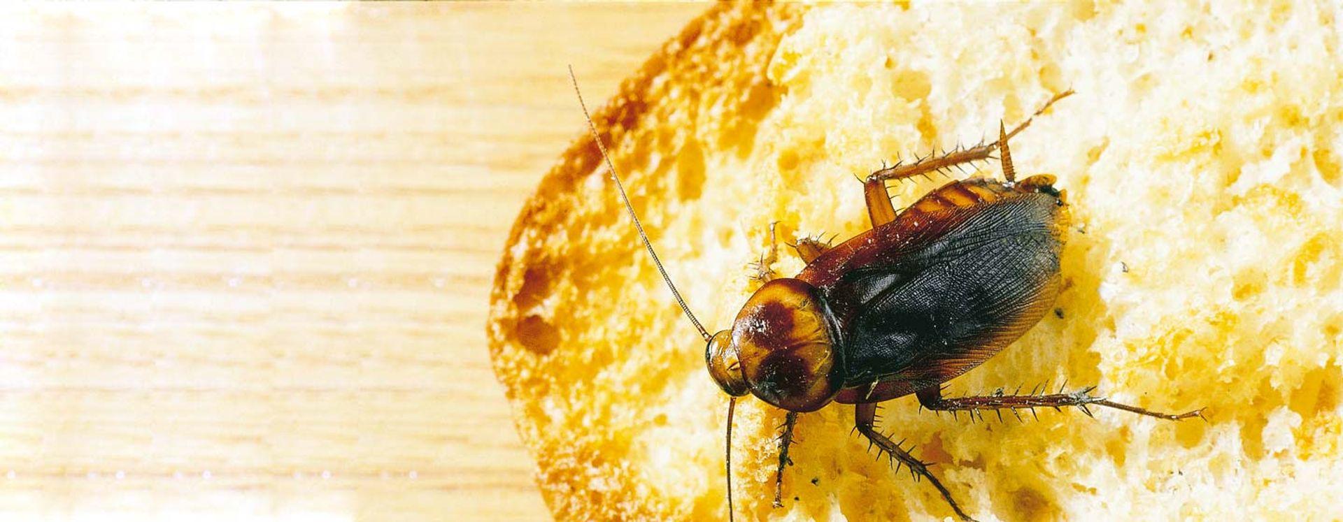 Detectar los indicios de una plaga de Cucarachas no es fácil