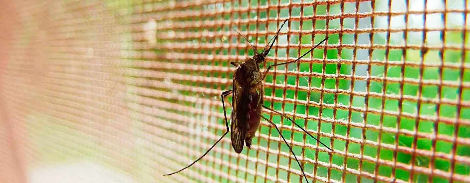 Mosquito apoyado