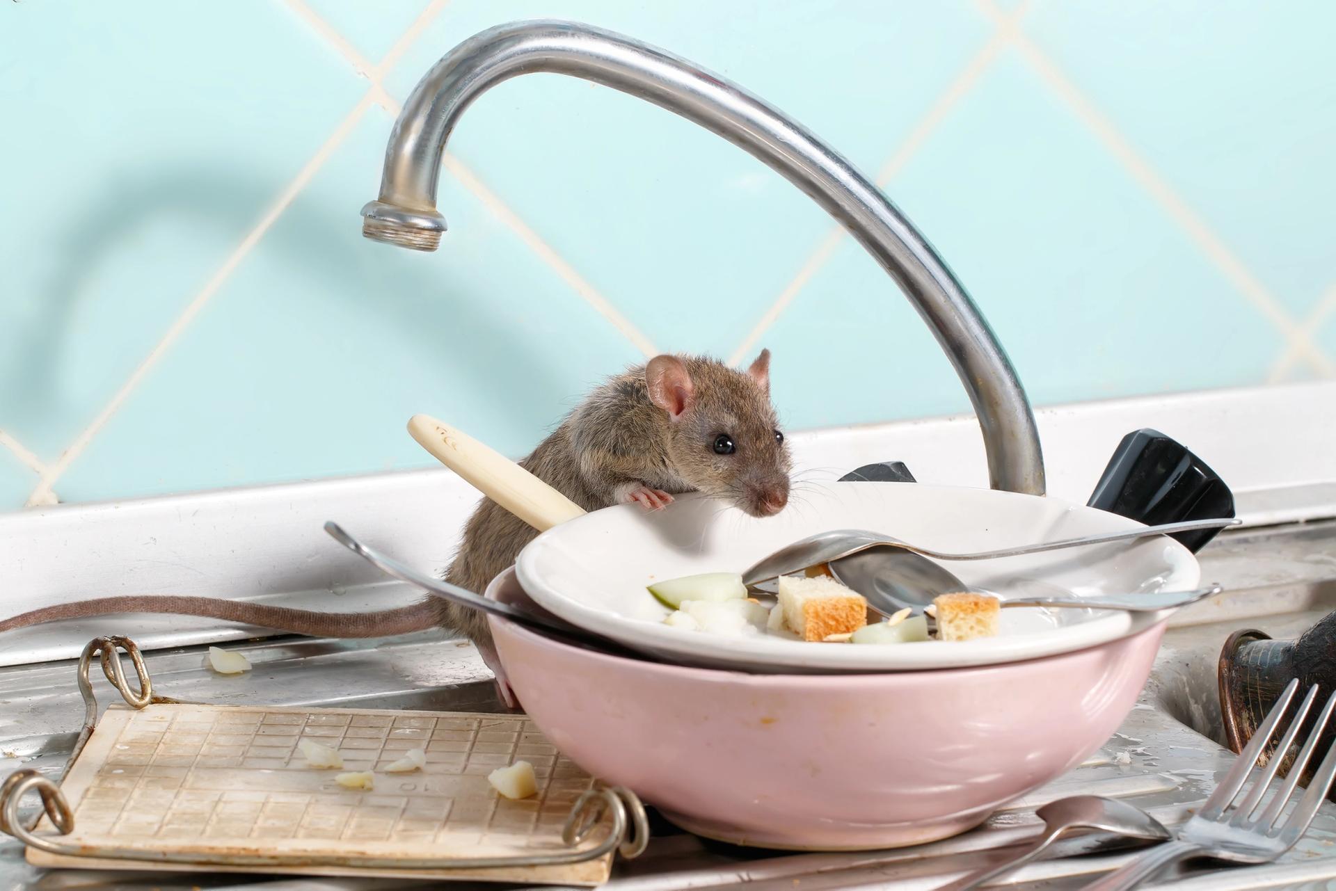 Rata en la cocina
