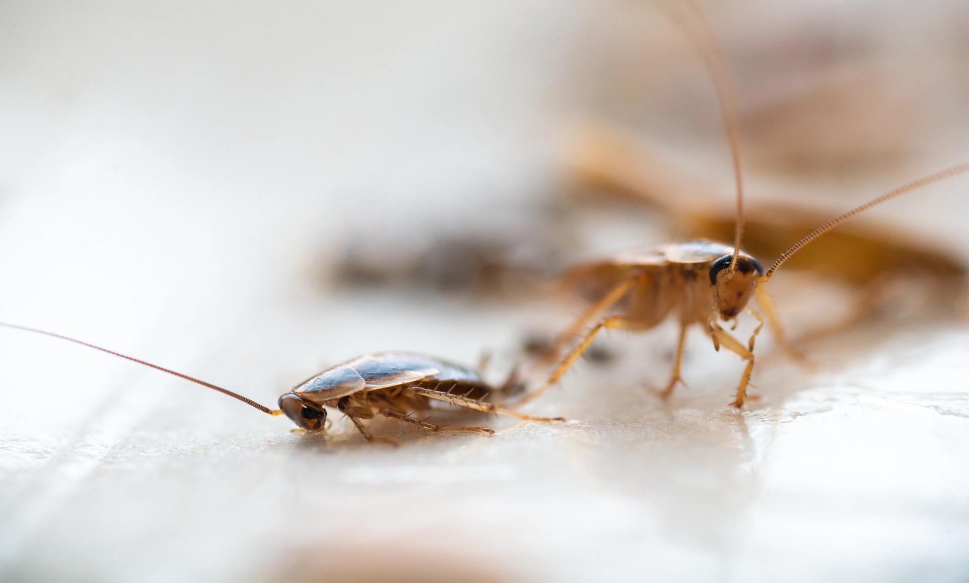 Tratamiento de Cucarachas