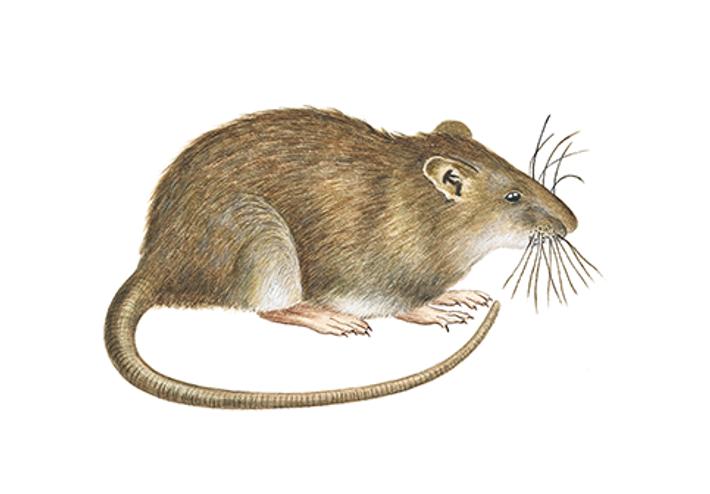 Brunråtta illustration Anticimex