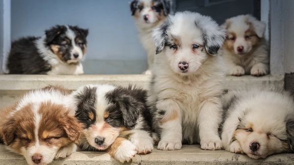 7 puppies with different colors