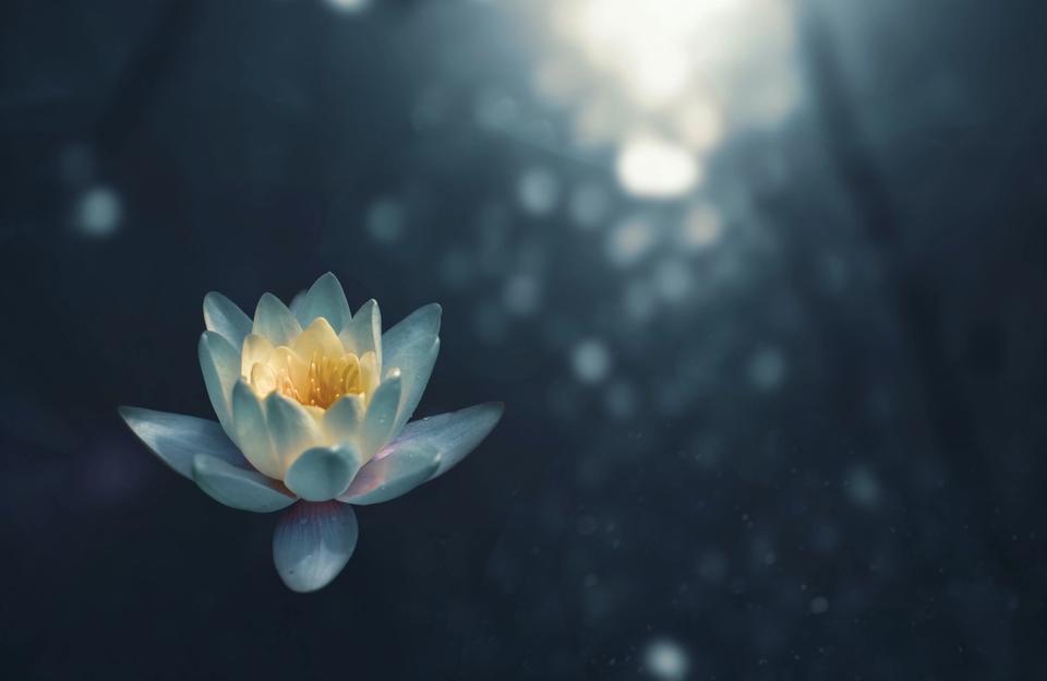 Contempler en Pleine conscience la fleur de lotus à la surface de l'eau