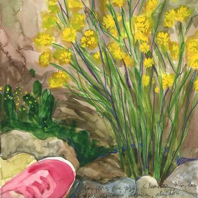 Crepis vesicaria, árnica. Las flores que piso