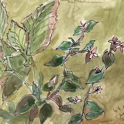 Begonia y zebrina