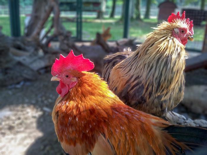To kyllinger står ved siden av hverandre på en gård