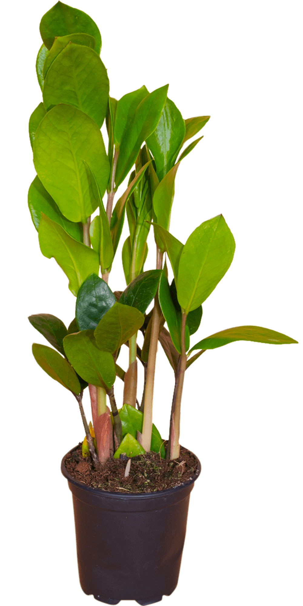 Zamioculcas zamiifolia 4