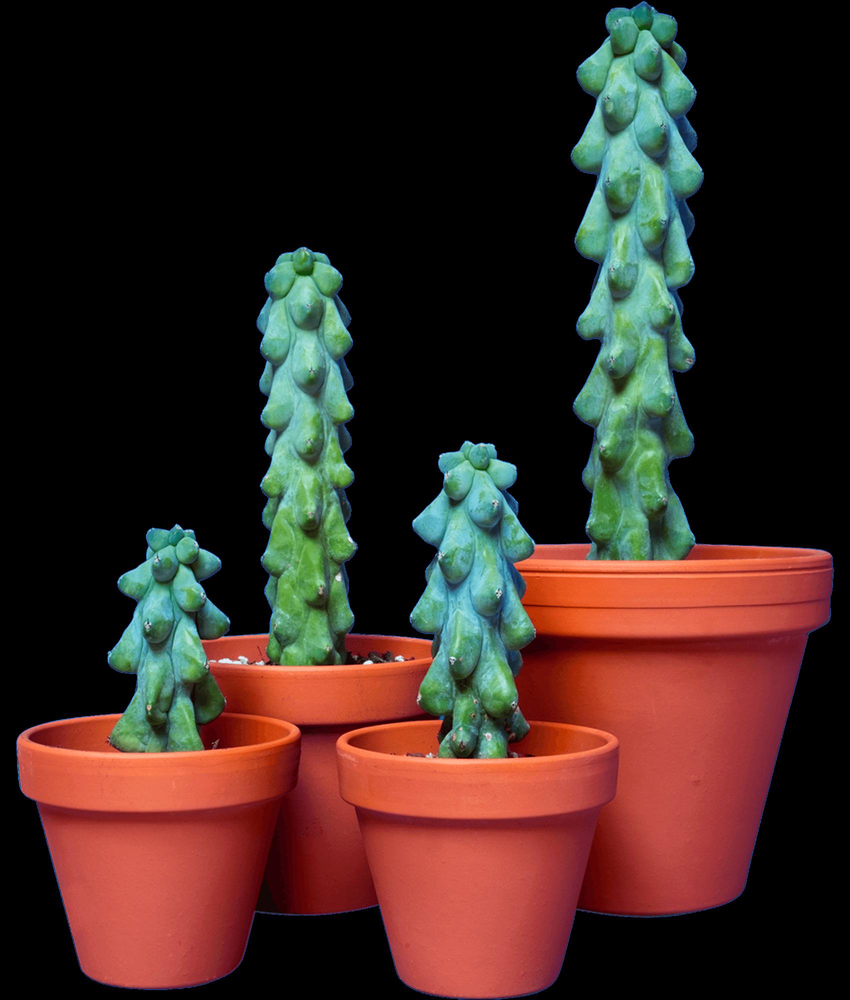 Myrtillocactus geometrizans 'Fukurokuryuzinboku'