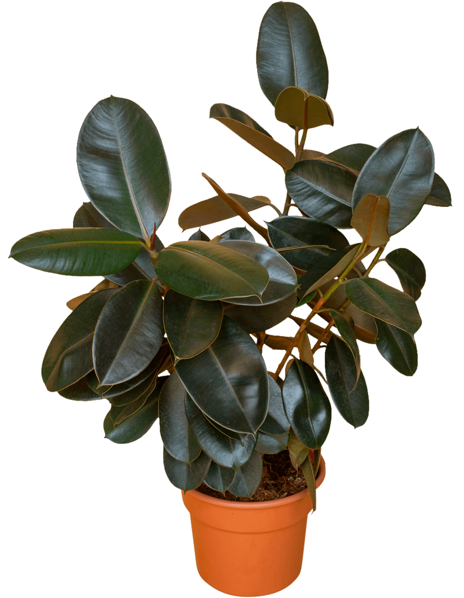 Ficus elastica - 4
