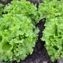 Grønn salat på jordet
