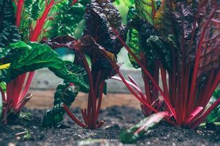 Plante med mørke, grønne og lilla blader, med røde stilker