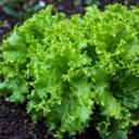 Grønn rapidsalat i jorda