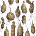 Røtter av jordskokk (Helianthus tuberosus)