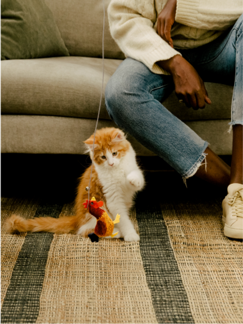 Maine coon kitten pawing at Cat Person chicken catnip toy dangled in front by person sitting on sofa