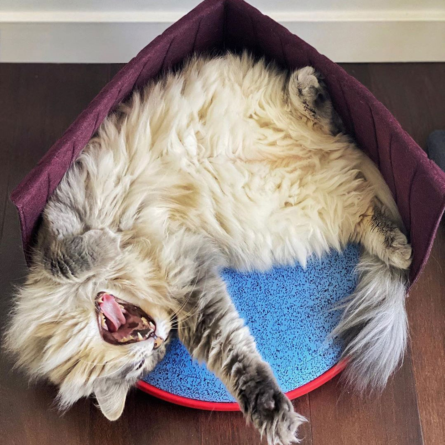 Long-haired cat stretching and yawning in a Cat Person Canopy Bed with the canopy folded over.