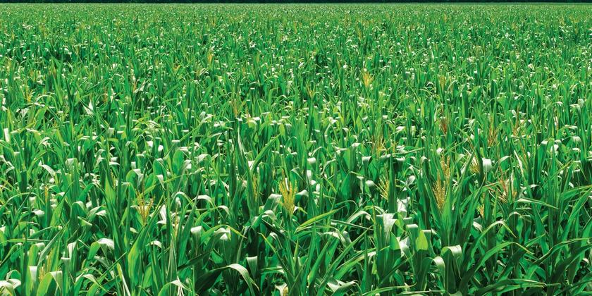 Désherbage maïs : Une solution pour chaque situation