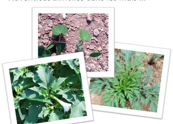 Datura, ambroisie, liserons ... quelles solutions dans les maïs ?