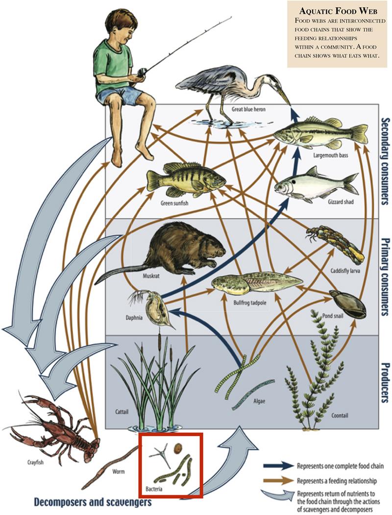 Aquatic food web by Kestin Schulz, Mariya W. Smit, Lydie Herfort and Holly M. Simon (source: https://bit.ly/3efvzUq)