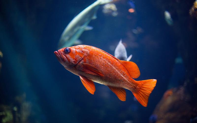 A small orange fish in a large fish tank with some other fish.