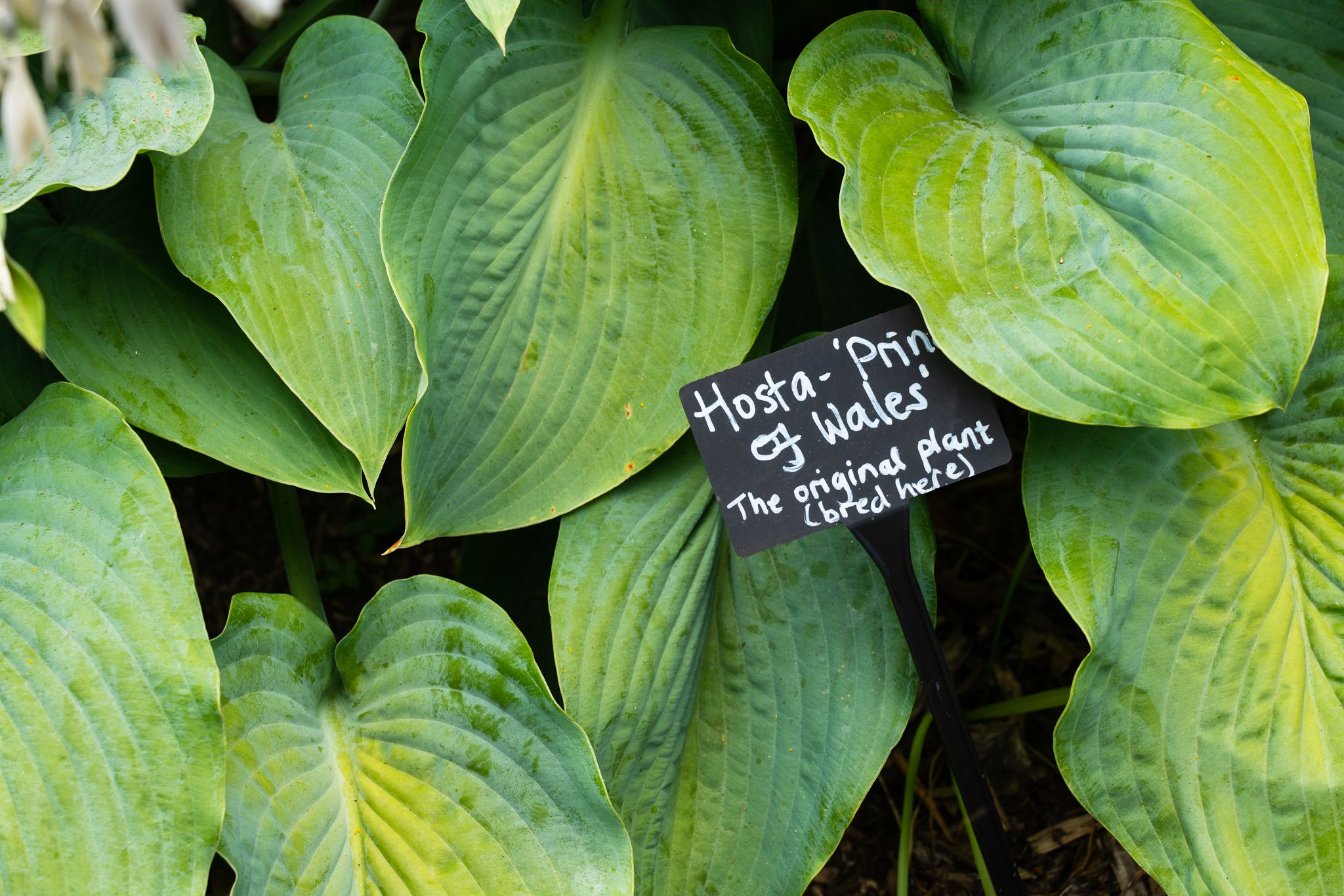 Hosta - Prince of Wales