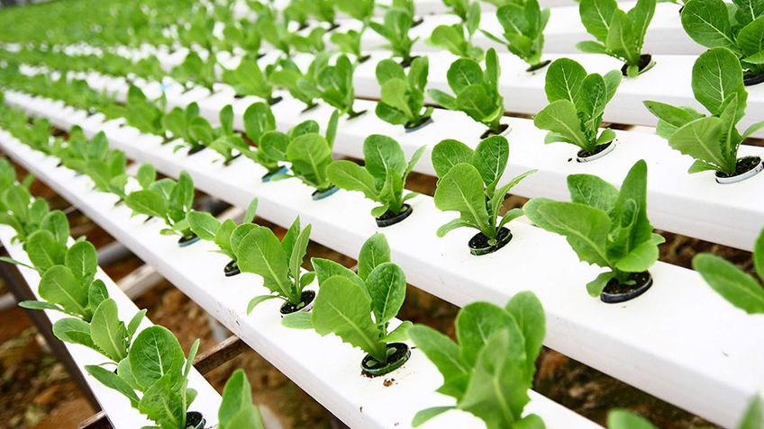 hydroponic plants with clinka products