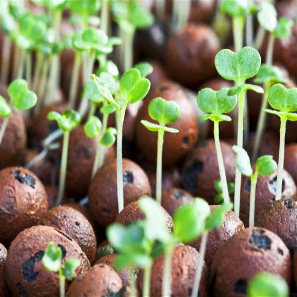 sprouts growing around clinka balls