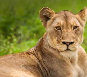 On safari - Lioness