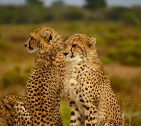 On Safari - Cheetahs