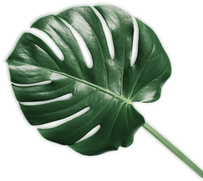 monatera leaf