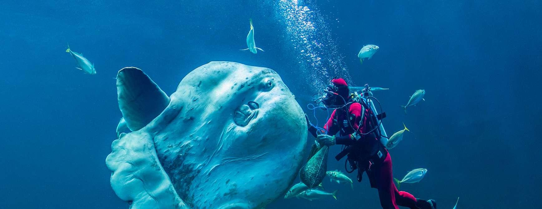 dykker med kjempefisk