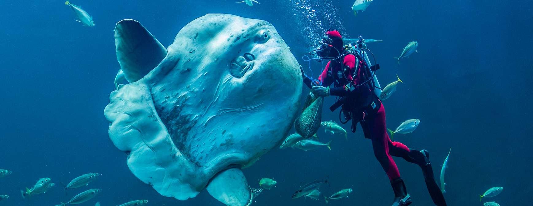 Dykker mater fisk i akvariumet