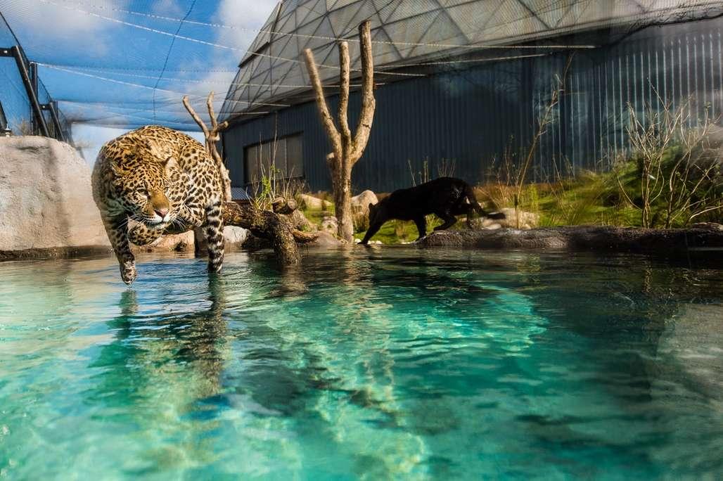 Jaguar som ligger på kvist over vannet.