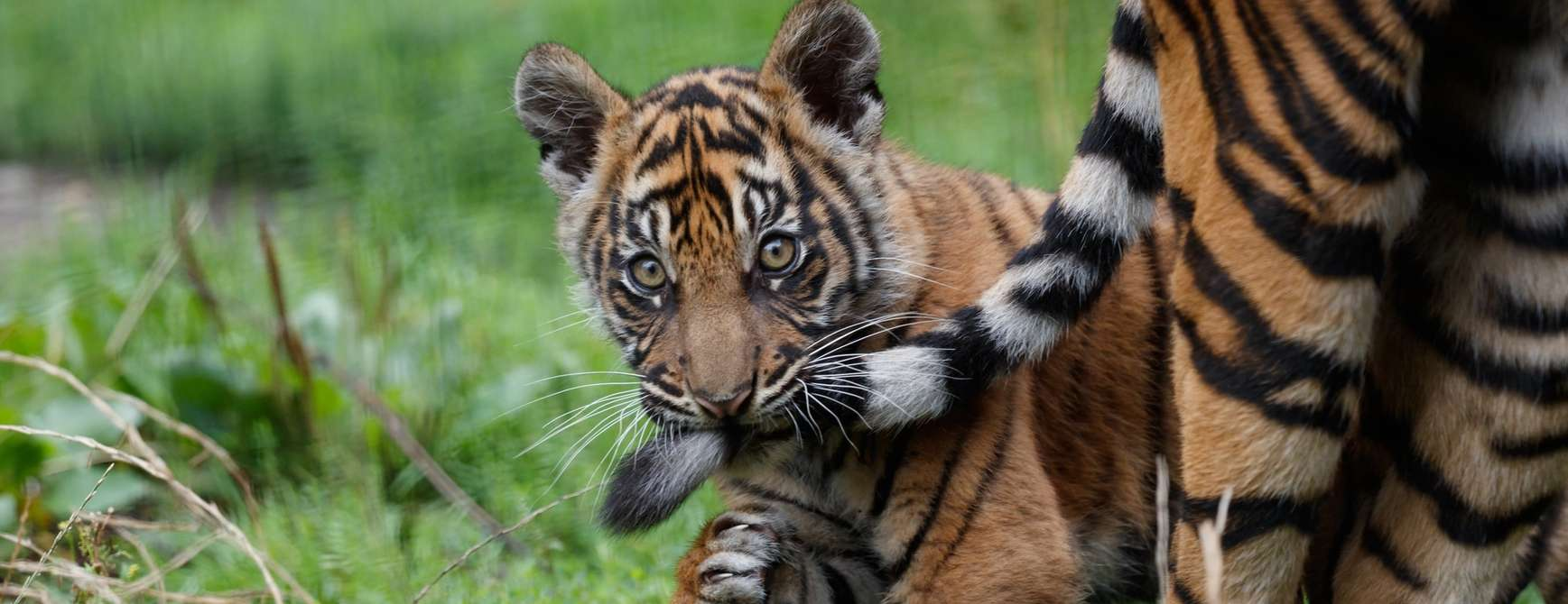 Tigerunge i Aalborg Zoo