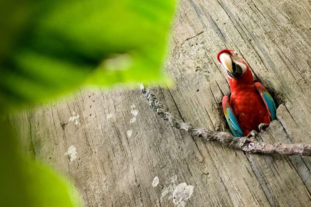 Ara-papegøyen viser seg fram i Randers Regnskov. Fra tid til annen tar den seg en deilig dusj i vannfallene. Foto: Fjord Line